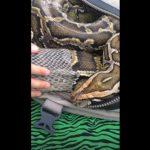 大蟒蛇脫皮有困難 獸醫雙手協助「脫衣」