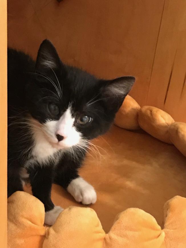 貓咪咖啡館的幼貓怯生生看著訪客。(熊傳慧/攝影)
