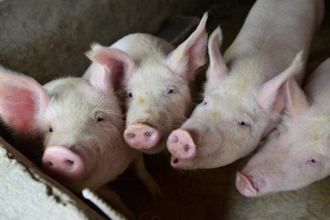 中國自去年8月爆發非洲豬瘟後,現又傳出河北保定有豬場1萬5000頭豬暴斃。 路透資料照片