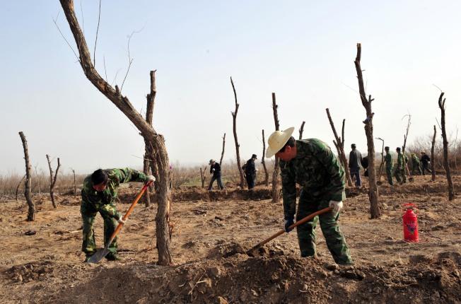 甘肅省高臺縣要完成三北工程造林目標,民眾在黑河岸邊的荒灘上種植胡楊。(新華社資料照片)