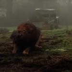 4人對決1獅子!英動物園辦「人獸拔河」賽惹議