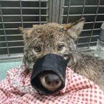 驚!撈起落水狗 還讓牠睡腿上… 原來是匹狼
