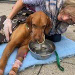 偷吃木糖醇蛋糕 獵犬肝衰竭8天後不治身亡