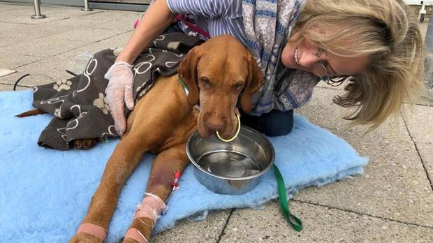 英國一隻7歲的獵犬因為誤食含有木糖醇的巧克力蛋糕,8天後不治身亡。圖/取自臉書
