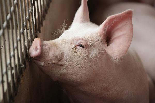 美國的豬肉產銷過程是否安全,將大大影響非洲豬瘟是否有機會入侵。(Getty Images)