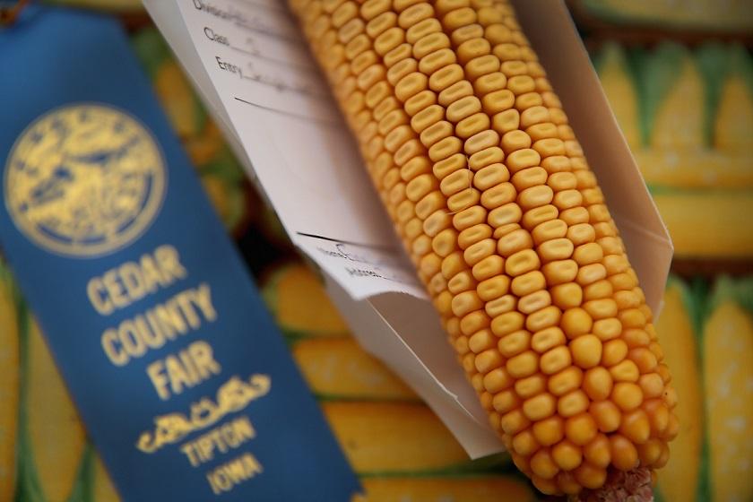玉米是大型養豬場使用的主要飼料之一。(Getty Images)