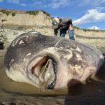 龐然怪魚 首度現蹤加州海灘