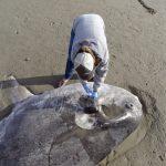 「騙子太陽魚」沖上加州海岸  命名學者看到照片 差點跌下椅