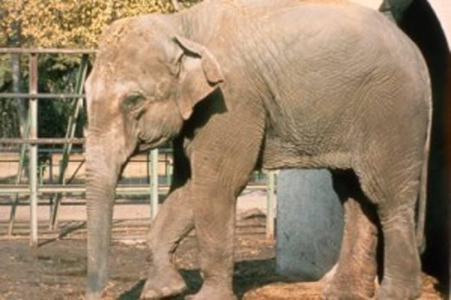 被稱為「世上最悲傷大象」的「Flavia」因年紀老邁及健康惡化遭到安樂死,終年47歲。(取材自臉書)