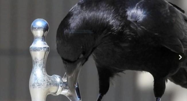 日本烏鴉很聰明,能夠根據喝水和洗澡的不同需要,用嘴喙碰觸飲水機的水龍頭來調節出水量。(視頻截圖)