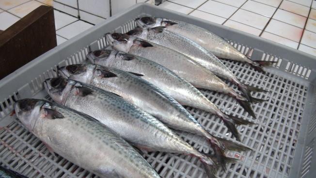魚肉所含的脂肪有利於保護心血管、腦部及眼睛。圖為鯖魚。(本報資料照片)
