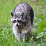 消失8年  紐約發現6浣熊染狂犬病