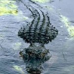 鱷魚出沒!警:勿慌 攻擊觸法