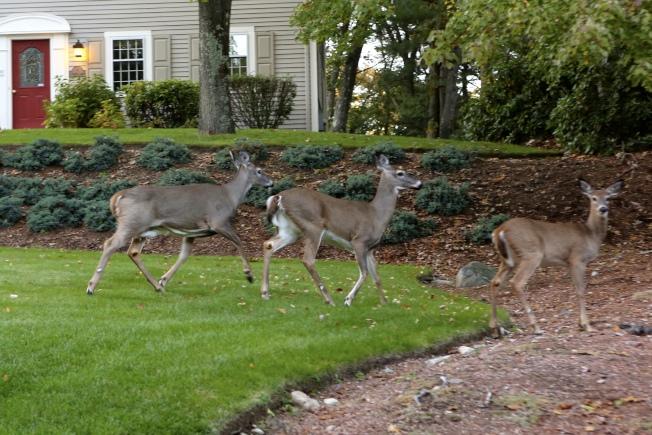 屋前後院常可見三兩成群的鹿。(盧秋瑩.圖片提供)