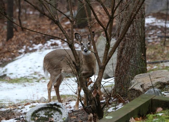 躲在樹枝後的年輕小鹿。(盧秋瑩.圖片提供)