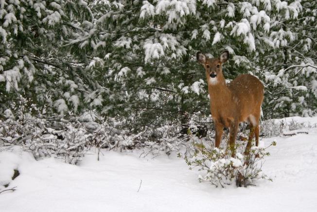站在雪地中的鹿。(盧秋瑩.圖片提供)