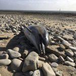 鰭全被割! 法海岸驚現1100隻海豚屍  死狀悽慘40年來罕見