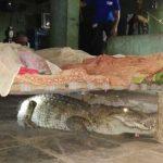 印度農夫半夜驚魂 鱷魚趴在嬰兒床下