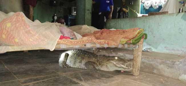 印度古茶拉底省一名農夫半夜被吵醒,赫然發現一隻巨大的鱷魚睡在他家嬰兒床下。 圖擷自Zee News
