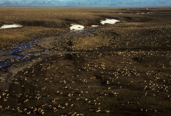 美國漁獵管理局發布的空照圖顯示,一群馴鹿正在北極圈奔跑。(美聯社)