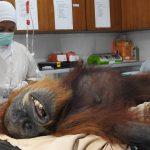 印尼紅毛猩猩遭空氣槍射74發 傷重大難不死