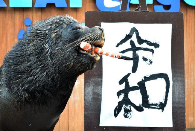 日本橫濱八景島海島樂園的海獅「李奧(Leo)」1日用嘴咬著毛筆,寫下日本下月將使用的新年號「令和」。(Getty Images)