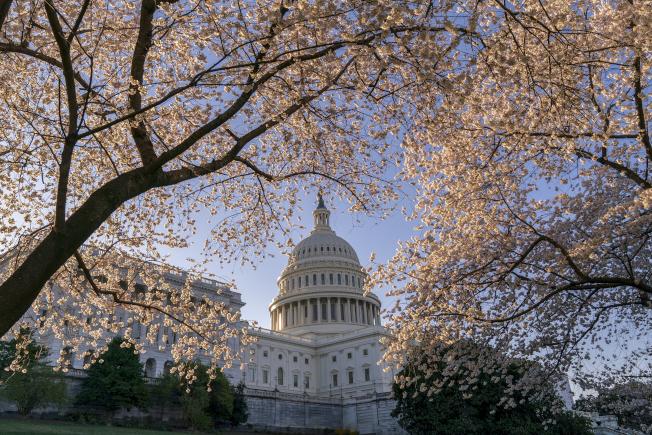 圖為國會山莊周圍完全綻放的櫻花。(美聯社)