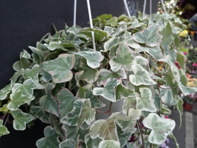 盆栽 淨化空氣 宜擺半日照處
