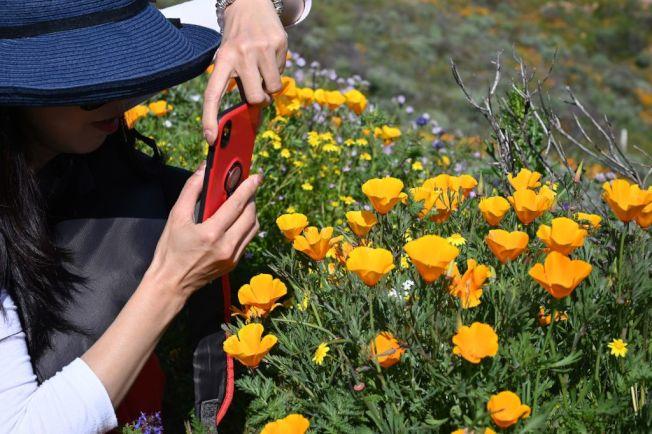 賞到興起,拿出手機留下春的腳步。(Getty Images)