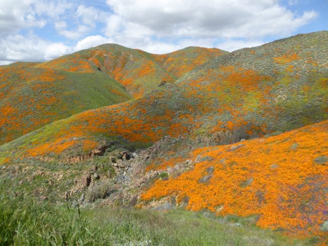 加州漫山遍野的罌粟花。