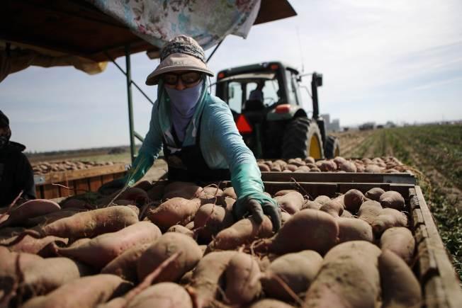 美國農業需要大量季節工人,圖為一名季節工在加州幫忙採收番薯。(Getty Images)