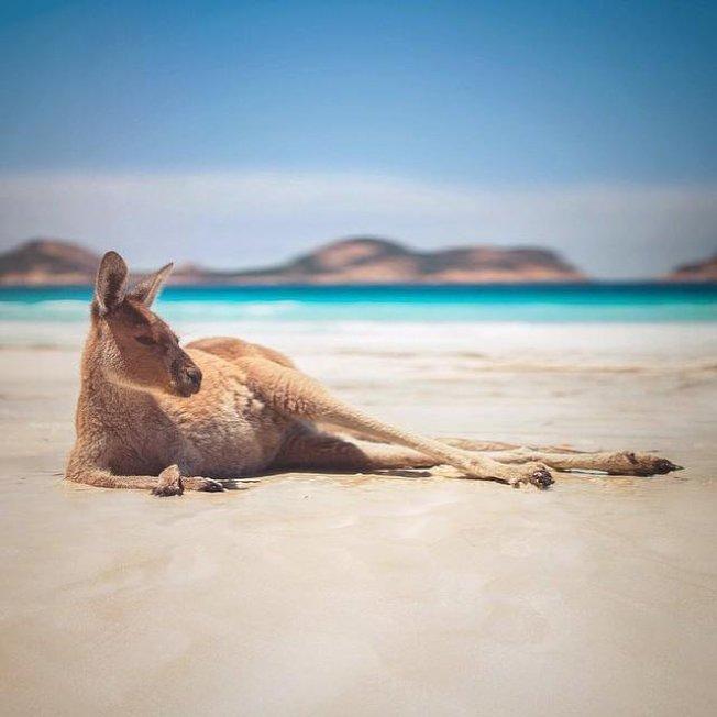 西澳大海角國家公園著名海灘「幸運灣」以大量袋鼠聚集聞名。(取自Instagram)