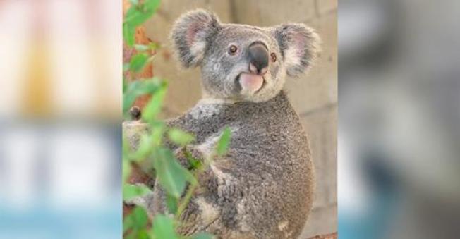 聖安東尼奧動物園被「讀者文摘」評選為德州最好的動物園,20多年未見的澳洲無尾熊,將在5月下旬起展出。(聖安東尼奧動物園推特)