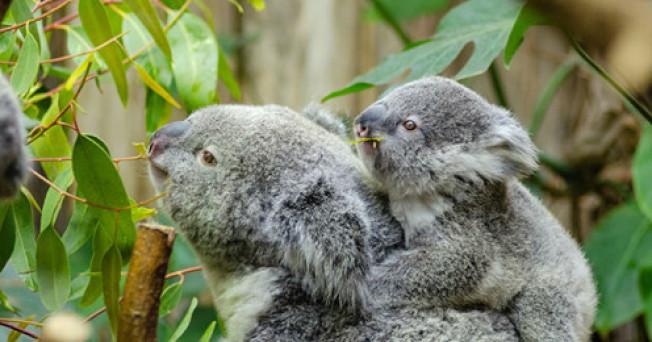 聖安東尼奧動物園被「讀者文摘」評選為德州最好的動物園,20多年未見的澳洲無尾熊,將在5月下旬起展出。(網路照片)