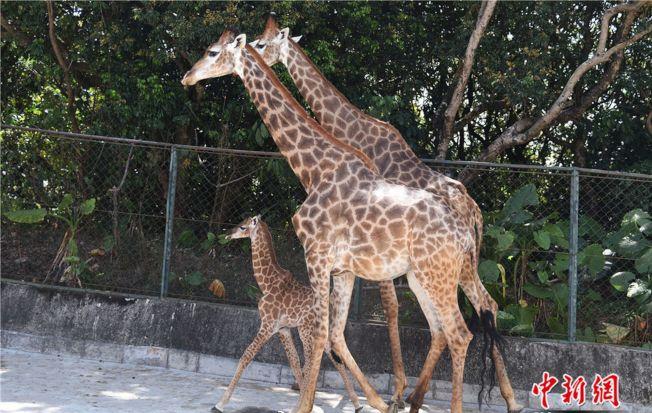 深圳野生動物園長頸鹿家族再添寶寶。(取材自中新網)