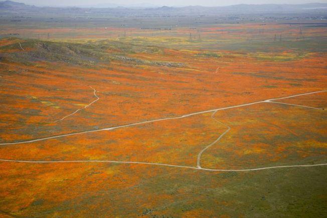 羚羊谷罌粟花至5月初仍可看到一些盛開景象。(洛杉磯時報)