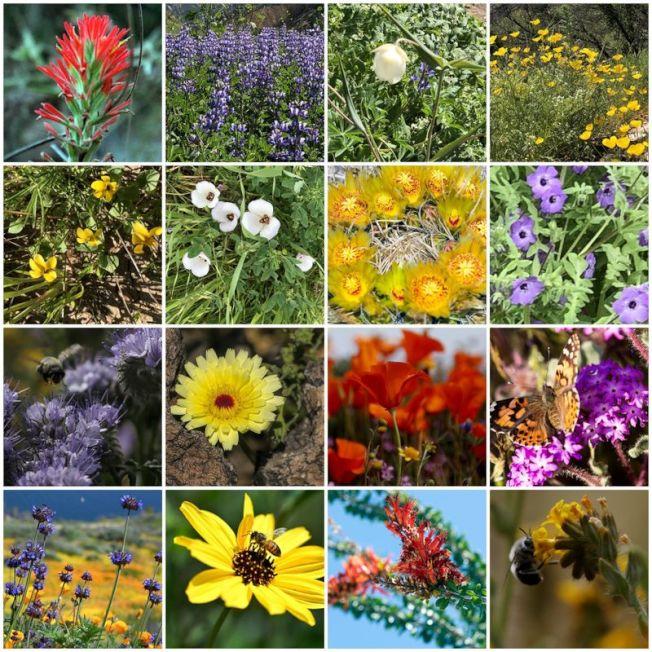 伍爾西大火(Woolsey fire)焚燒的地區可看到色彩繽紛、不同種類的野花。(洛杉磯時報)