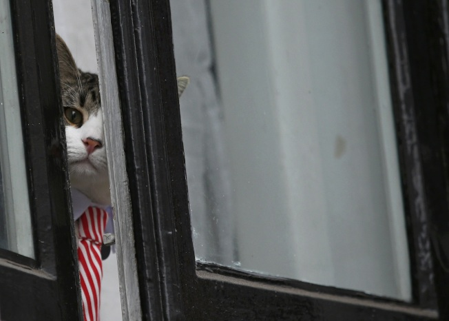 厄瓜多駐倫敦大使懷疑阿桑吉的寵物貓是「間諜貓」。(路透資料照片)