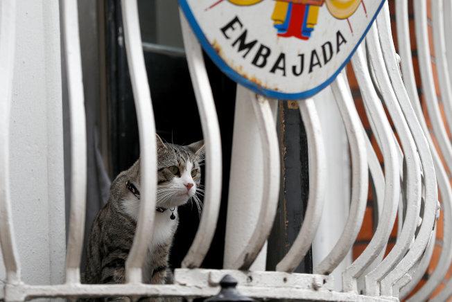 阿桑吉的貓去年7月底時坐在厄瓜多使館窗台上看著外頭。(路透資料照片)