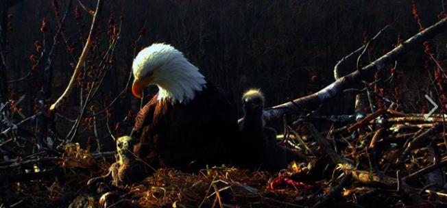 美國密西西比河近日出現罕見一幕,一個白頭鷹巢內竟有「兩名爸爸一名媽媽」。取自U.S. Fish and Wildlife Service臉書