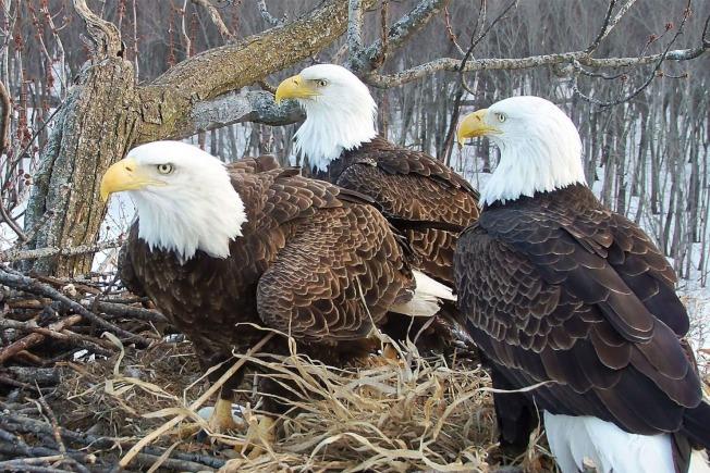 一個白頭鷹巢內竟有「兩個爸爸一個媽媽」。取自國家奧杜邦協會