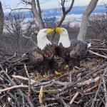20年第一次 華府兩對白頭鷹都沒生寶寶