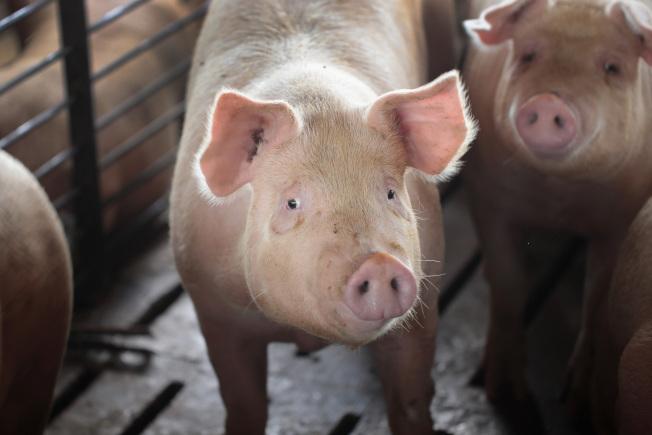 科學家從屠宰的豬體取出豬腦,在豬隻死亡四小時後,讓牠們的腦部細胞恢復一些功能。這項突破性的發現對生死界限造成深遠問題。(Getty Images)