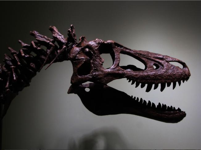 美國一名化石獵人日前將一具距今6800萬年前的「暴龍寶寶」化石放上拍賣網站eBay求售。圖擷自eBay