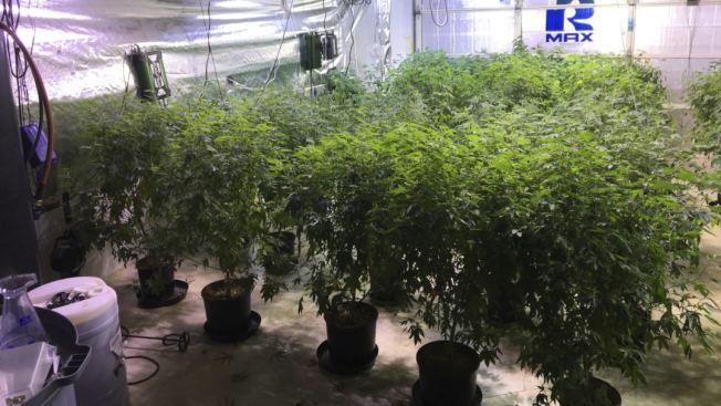 警方去年在千橡樹市搗毀的一處大麻種植基地。(美聯社)