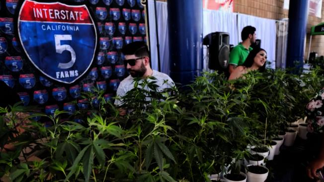 加州的合法大麻市場被黑市搶走大半,合法業者向當局施壓,希望對非法大麻業者執法更加嚴厲有效。(美聯社)