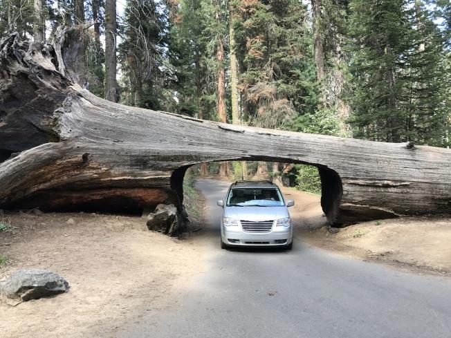 作者先生開車穿過樹隧道。