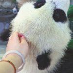 女大學生偷摸熊貓寶寶 惹眾怒