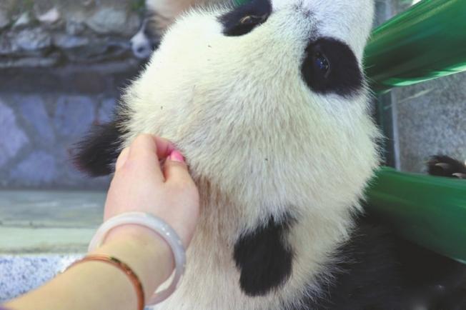 女大學生小韓偷摸大熊貓的照片在微博發布後,引發眾多網友質疑、指責。(微博截圖)