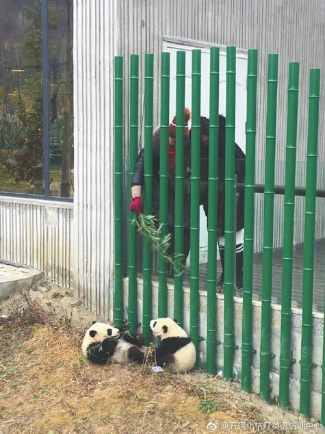 疑似女大學生偷摸大熊貓事發地點,該處圍欄離園區內部很近,有遊客在用竹子吸引園內幼年大熊貓注意。(取材自華西都市報)